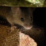 How to ensure that all mice are gone from your home