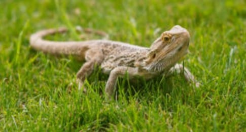 15 Jaw-Dropping Bearded Dragon Facts