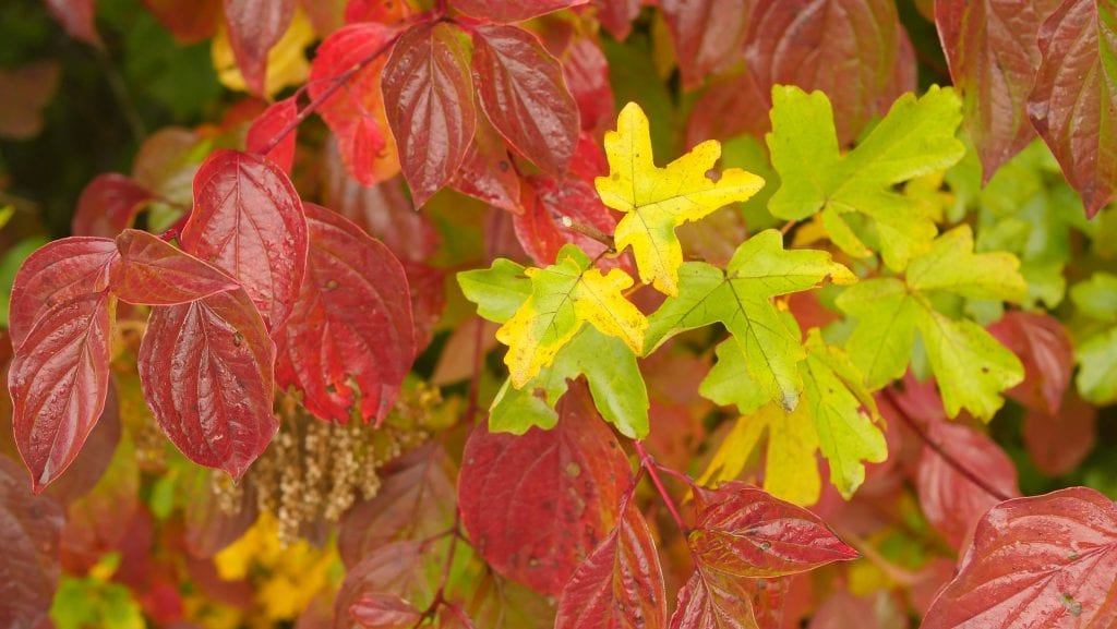 How to Identify a Sycamore Tree?
