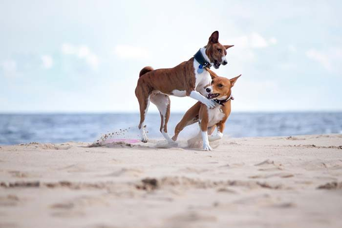Best Dog Breeds for Hot, Humid Areas